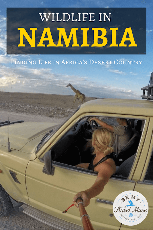Where to go to find the best game reserves and wildlife sightings in Namibia, including wild horses, elephants, and giraffes. All about Etosha and more!